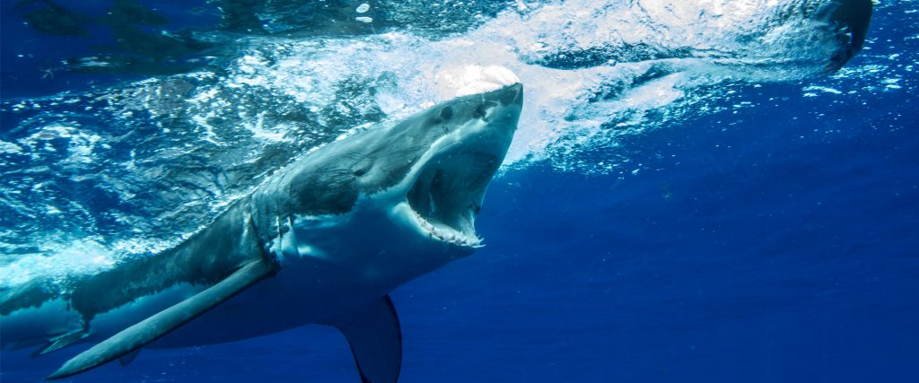 great-white-shark-attack